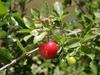 Acerola malpighia punicifolia