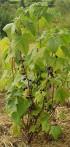 Cassis Ribes nigrum
