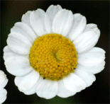 Grande camomille Tanacetum parthenium