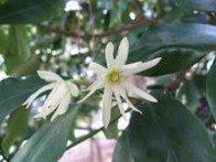 Badiane chinoise illicium anisatum
