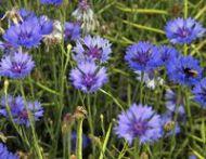 Bleuet vaccinium spp