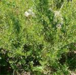Estragon Artemisia dracunculus