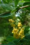 épine-vinette Berberis vulgaris