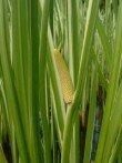 Acore odorant acorus calamus