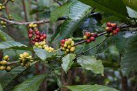 Caféier Coffea L