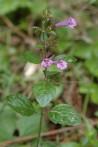Calament Calamintha menthifolia