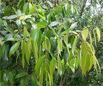 Cannelier de chine Cinnamomum aromaticum
