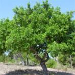 Caroubier Ceratonia siliqua