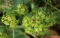 Alchemille commune alchemilla vulgaris