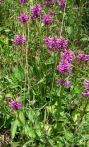 Betoine Stachys officinalis