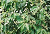 Cannelier Cinnamomum verum