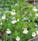 Euphraise Euphrasia officinalis