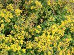 Chrysanthellum Chrysanthemum indicum