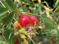 Rosa glutinosa lepljiva ruza
