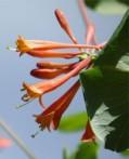 chèvrefeuille Lonicera caprifolium