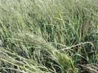 Chiendent Elymus repens
