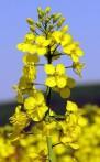 Colza Brassica napus