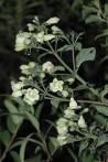 Condurango Marsdenia condurango