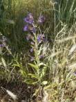 Buglosse Anchusa officinalis