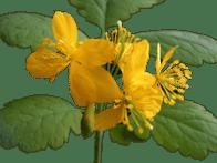 Chélidoine Chelidonium majus