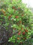 Arbousier arbutus unedo