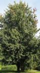 érable a sucre Acer saccharinum