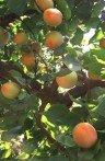 Abricotier prunus armeniaca