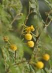 Acacia d'Arabie acacia nilotica