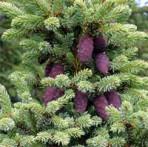 épinette noire Picea mariana