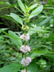 Menthe chinoise mentha haplocalyx