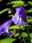 Scutellaire barbue scutellaria barbata