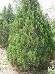 Thuya de Chine platycladus orientalis