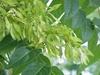 Ailante ailanthus altissima