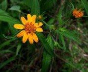 Aspilia aspilia mossambicensis