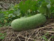 Melon d'hiver benincasa hispida