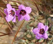 Bec de grue Erodium cicutarium