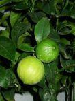 Bergamotier citrus bergamia