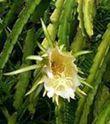 cactus a grandes fleurs_CACTUS GRANDIFLORUS