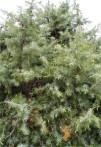 Cade juniperus oxycédrus