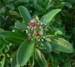 Cannelle blanche Canella winterana