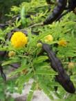 Cassier Acacia farnesiana