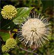 Céphalanthe Cephalanthus occidentalis