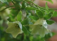 Codonopsis codonopsis pilosula