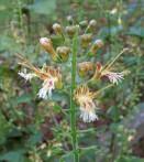 Collinsonie Collinsonia canadensis