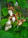 Cotonnier Gossypium herbaceum