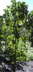 Croton a carscarille Croton eluteria