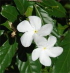 faux jasmin Ervatamia coronaria