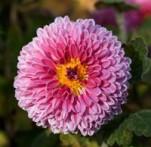 Kiku chrysanthemum morifolium
