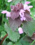 lamier pourpre Lamium purpurium