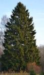 épicéa commun Picea abies